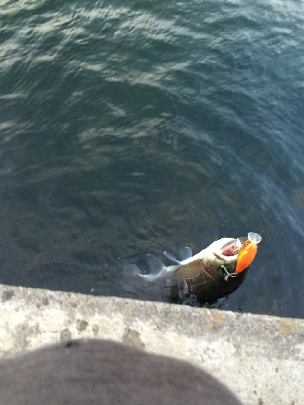 たいじゅさんの投稿画像,写っている魚はニジマス