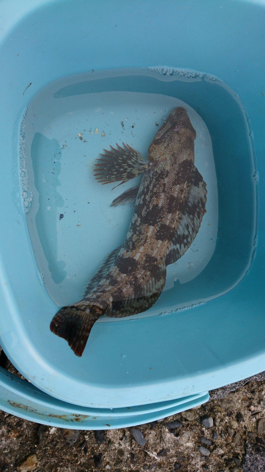 kamesukeさんの投稿画像,写っている魚はアイナメ