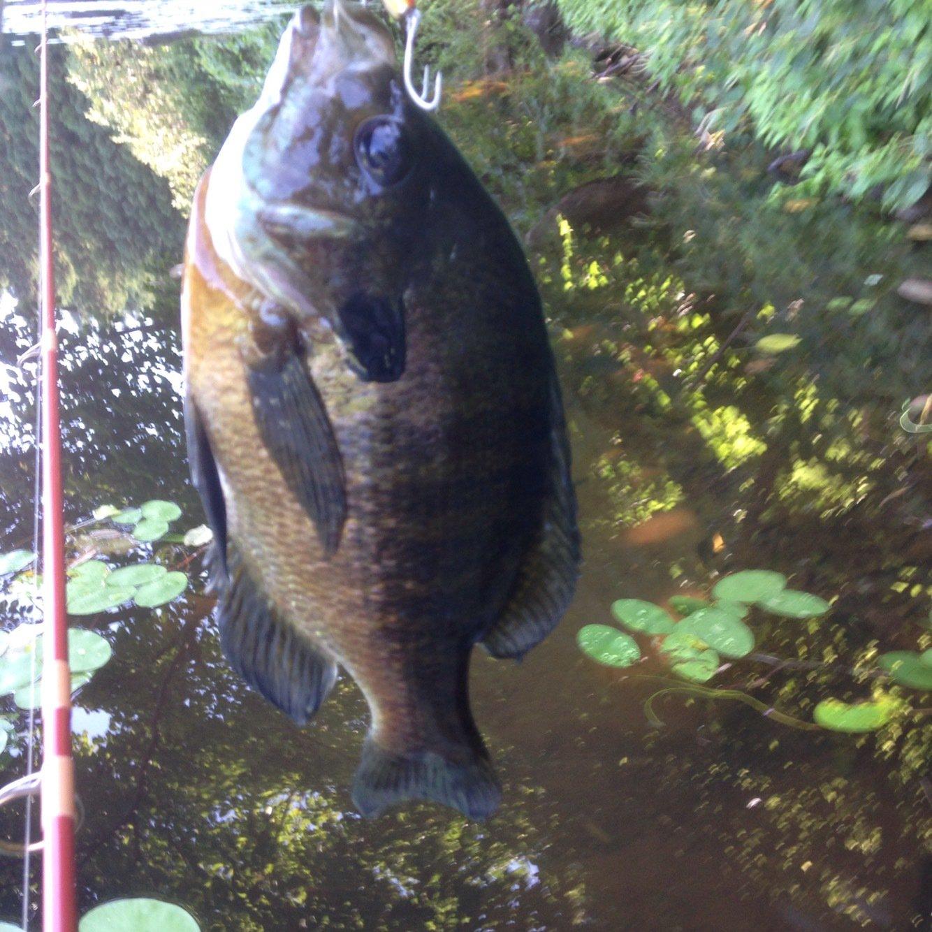 isanさんの投稿画像,写っている魚はブルーギル