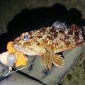 まーさー2さんの兵庫県高砂市でのカサゴの釣果写真