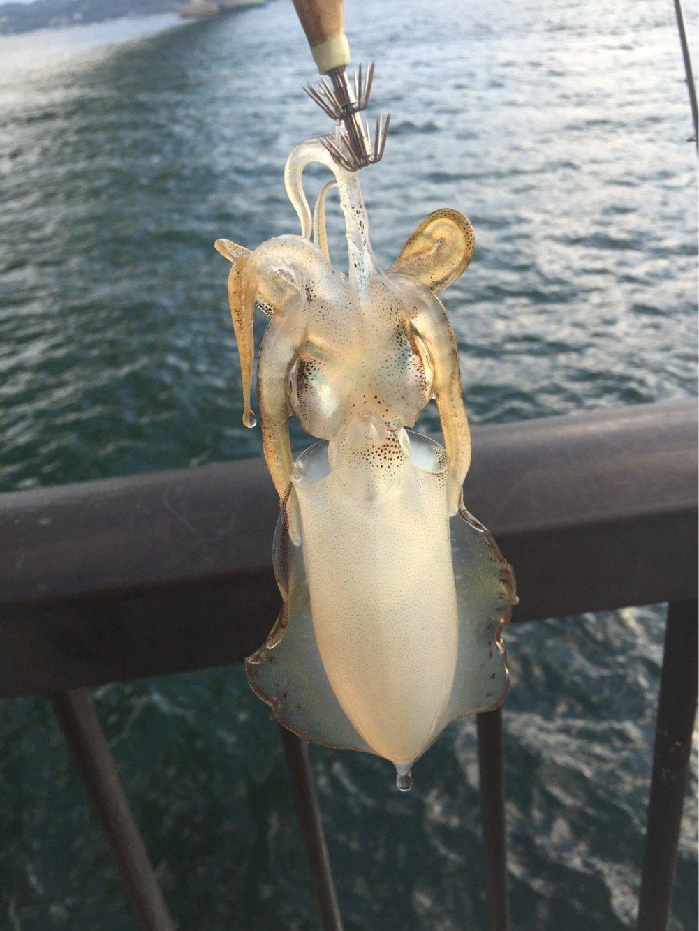 生茶さんの投稿画像,写っている魚はアオリイカ