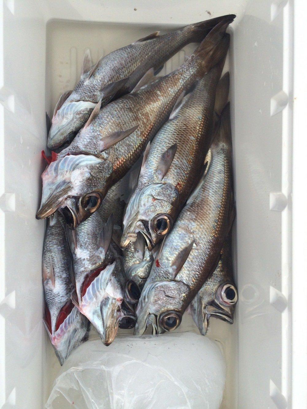 いぬっころさんの投稿画像,写っている魚はクロムツ