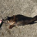 BUCCHI3さんの島根県浜田市でのメバルの釣果写真