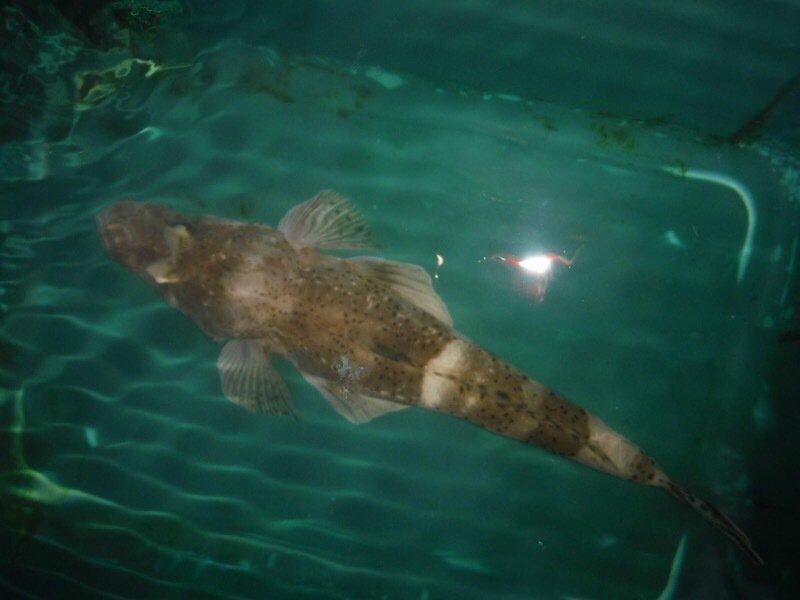いぬっころさんの投稿画像,写っている魚はコチ