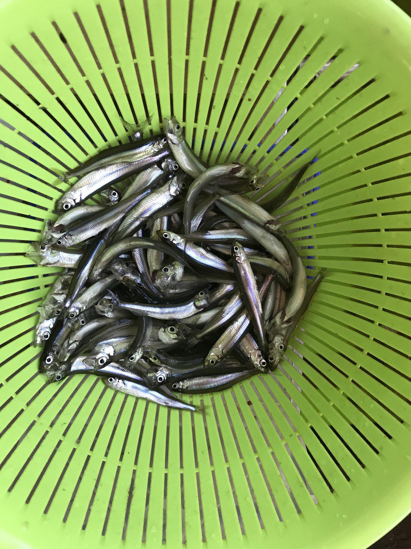 釣リーマンさんの投稿画像,写っている魚はワカサギ