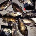 ビギにゃーさんの青森県東津軽郡での釣果写真