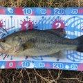 shi-basser-ki さんの千葉県佐倉市での釣果写真