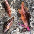 コウイチさんの島根県浜田市での釣果写真
