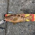 すこ@釣りさんのキジハタの釣果写真