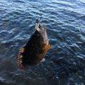 サカやんさんのアカササノハベラの釣果写真