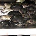 サバイバルさんの熊本県天草郡でのクロダイの釣果写真