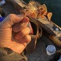 ラブ子さんの大阪府泉北郡での釣果写真
