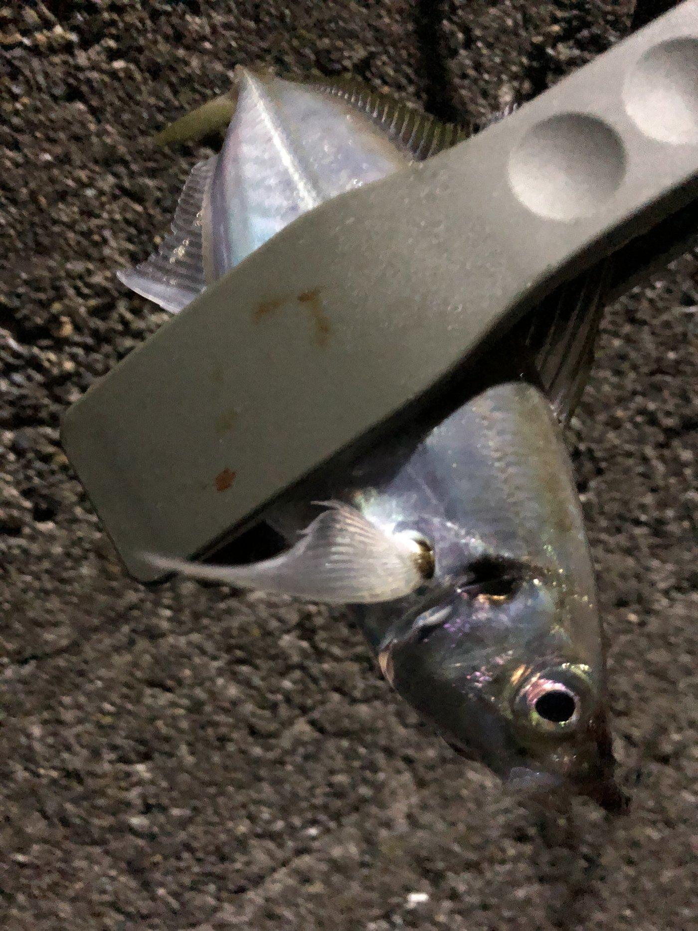 じょりらさんの投稿画像,写っている魚はアジ