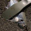 じょりらさんの千葉県鴨川市でのアジの釣果写真