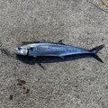 ドンブリさんの富山県射水市での釣果写真
