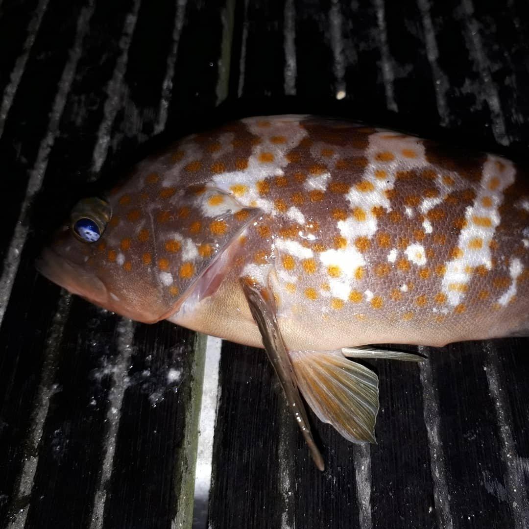 ロキさんの投稿画像,写っている魚はキジハタ