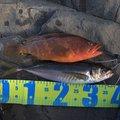 iwakoちゃんさんのキジハタの釣果写真