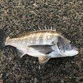 JIGENさんの福岡県糸島市でのクロダイの釣果写真