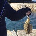 とろい丸さんのコウイカの釣果写真