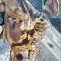 snufkin49さんのタケノコメバルの釣果写真