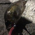 Sakamotp Keiさんの神奈川県横須賀市でのメバルの釣果写真