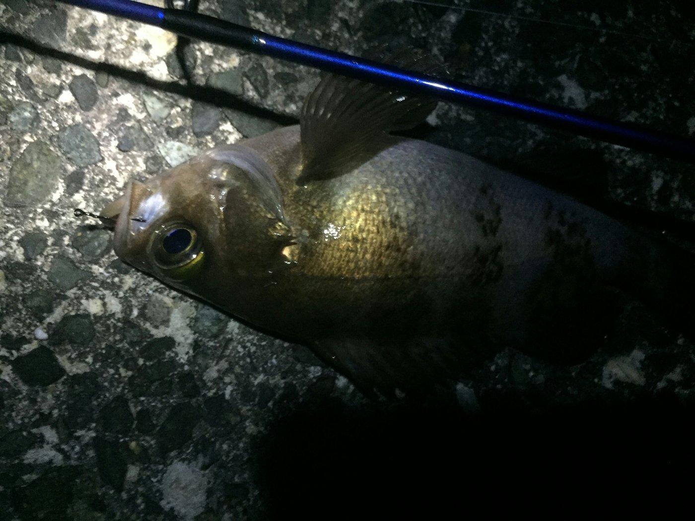 釣り吉四平さんの投稿画像,写っている魚はメバル