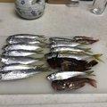 マロンさんの宮崎県日南市での釣果写真