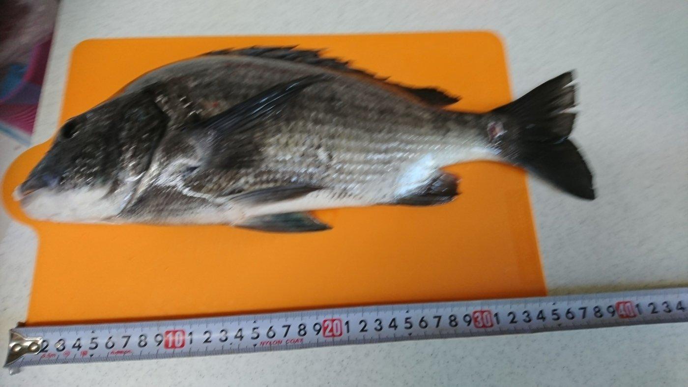 6-Senseさんの投稿画像,写っている魚はクロダイ