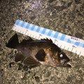 フォール  さんの香川県三豊市でのメバルの釣果写真