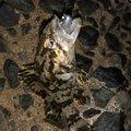 サラリーマン釣り太郎@幻影魚団さんのタケノコメバルの釣果写真
