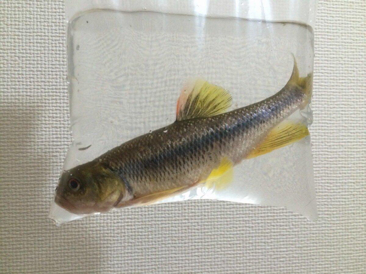 居酒屋村上さんの投稿画像,写っている魚はカワムツ