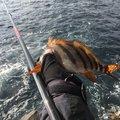 飛沫 shibukiさんのクロメジナの釣果写真