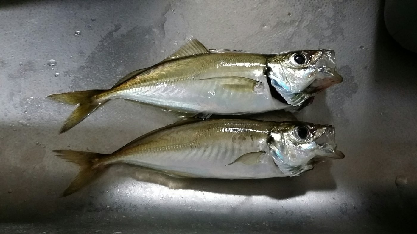 ネチラーさんの投稿画像,写っている魚はアジ