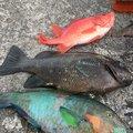 フィッシャーーーさんの沖縄県那覇市でのエビスダイの釣果写真
