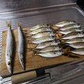 higuさんの千葉県館山市での釣果写真