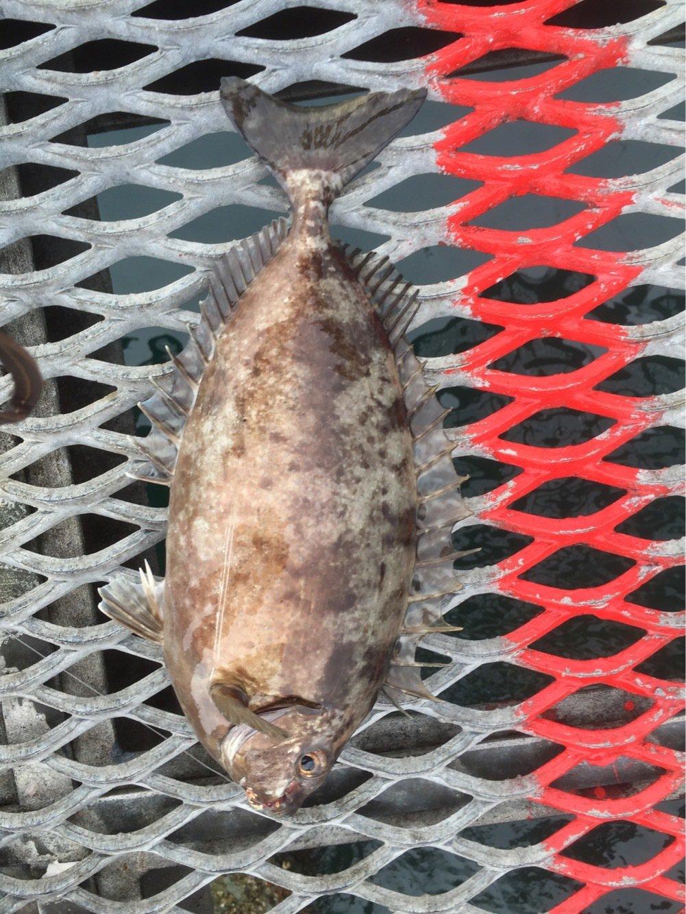 大田俊介さんの投稿画像,写っている魚はアイゴ