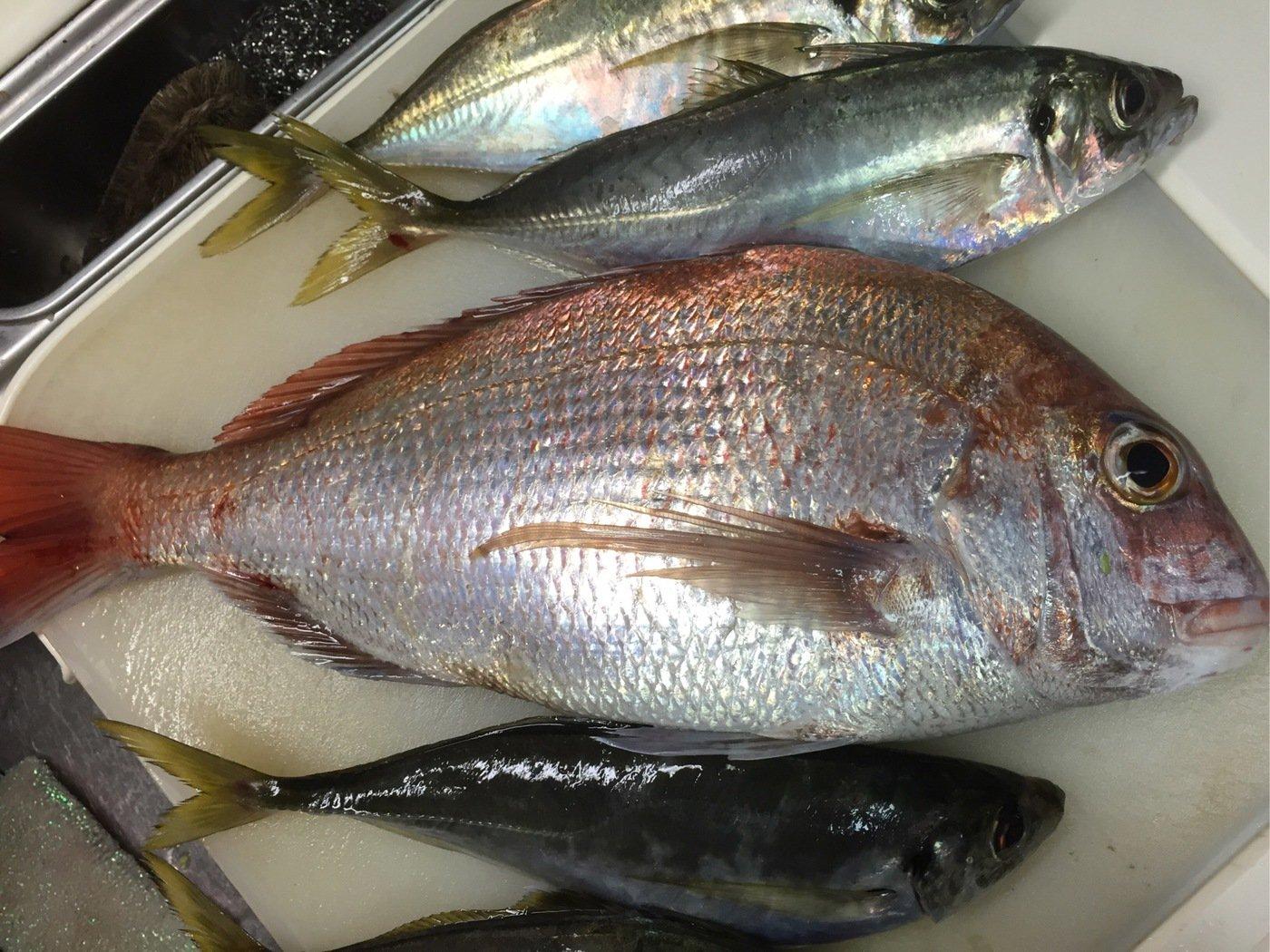 大田俊介さんの投稿画像,写っている魚はマダイ