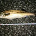 ジーン さんの千葉県袖ケ浦市でのスズキの釣果写真