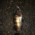 SHOさんの神奈川県横須賀市でのメバルの釣果写真