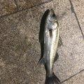 釣り初心者🤪さんの東京都でのスズキの釣果写真