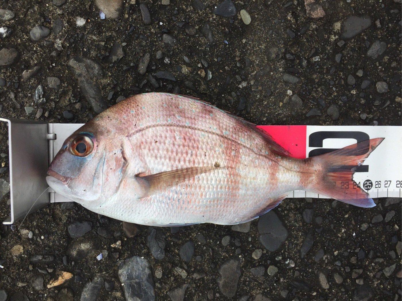さわさんの投稿画像,写っている魚はマダイ