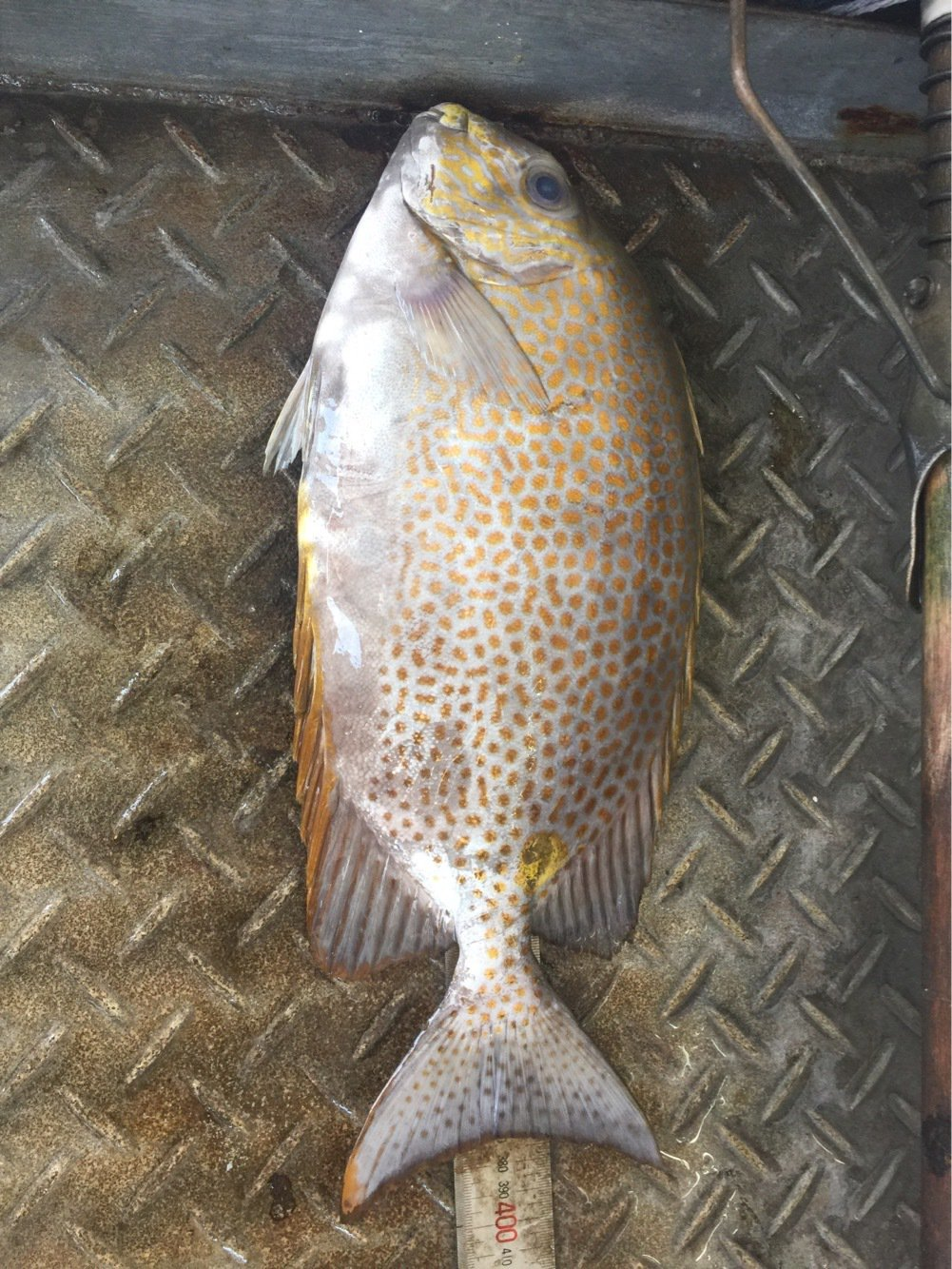 一平さんの投稿画像,写っている魚はゴマアイゴ