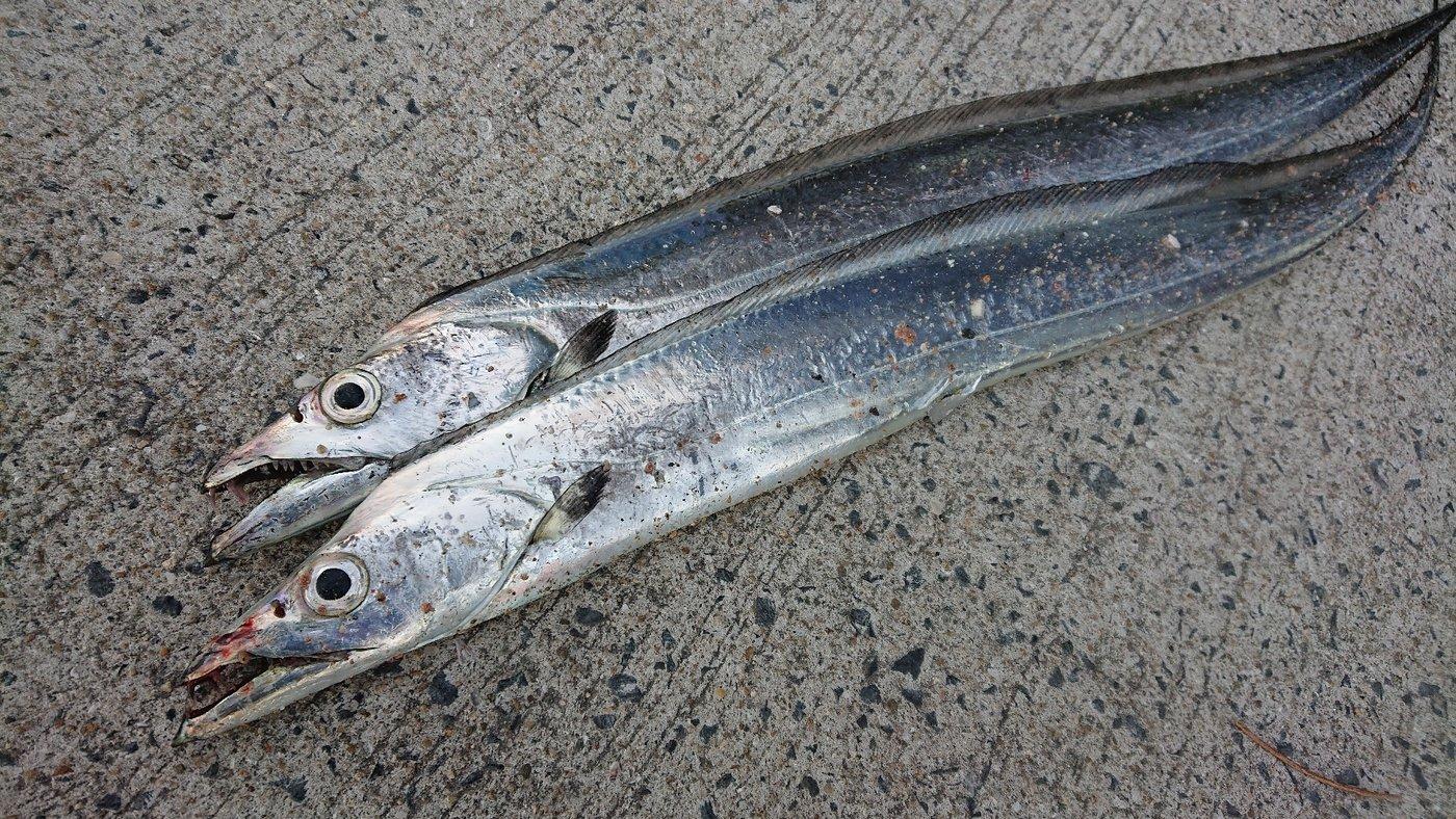AVESHIさんの投稿画像,写っている魚はタチウオ