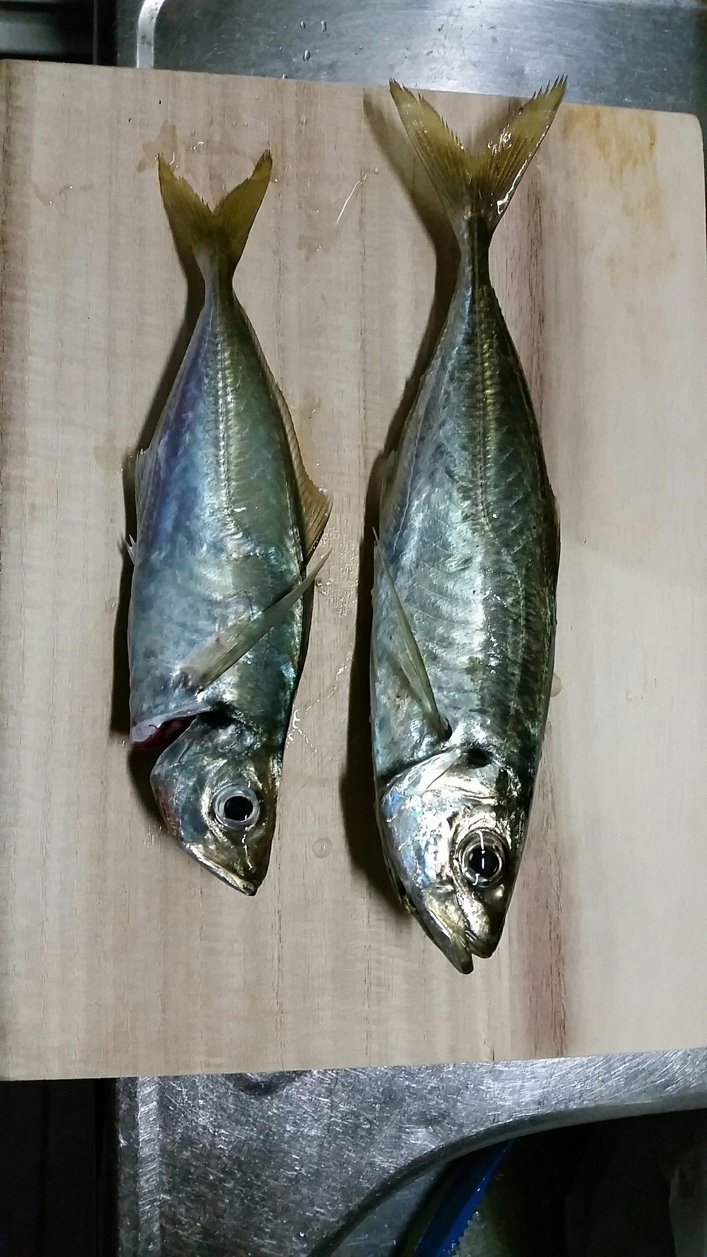 K2さんの投稿画像,写っている魚はアジ