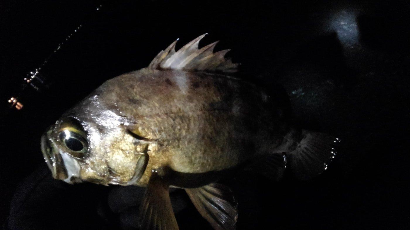 KRO さんの投稿画像,写っている魚はメバル