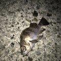 梟さんの新潟県西蒲原郡での釣果写真