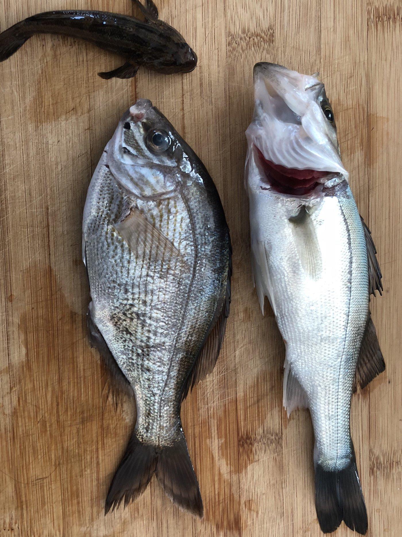 うどんさんの投稿画像,写っている魚はスズキ,ウミタナゴ,マハゼ,フグ