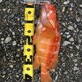 ☆肥後釣り倶楽部☆さんの鹿児島県出水市での釣果写真