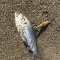 ひでぼうさんのコノシロの釣果写真