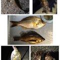 アナハゼくんさんの兵庫県明石市でのウミタナゴの釣果写真